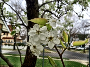 A Bradford Pear flower - looks beautiful, but it smells awful