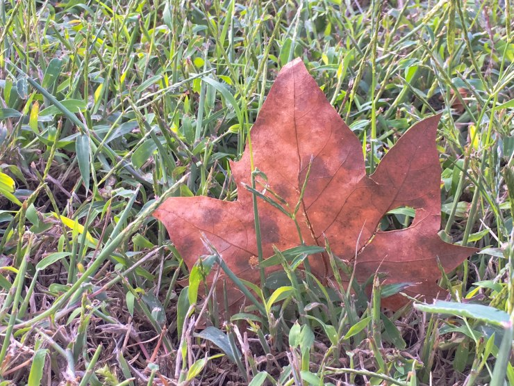 Leaf macro image taking with an iPhone6s+