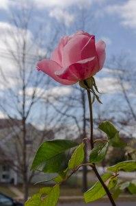 A rose blooms in December