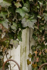 Ivy-covered fence