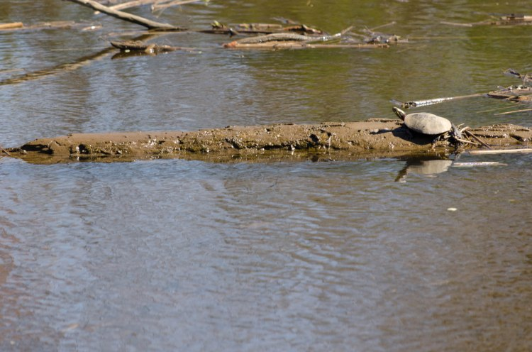 Turtle on a log, chilling in the Sun
