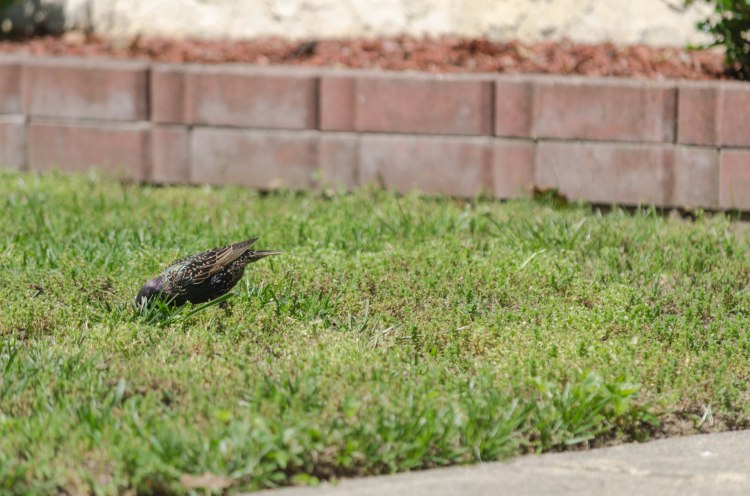 A starling forages in a yard