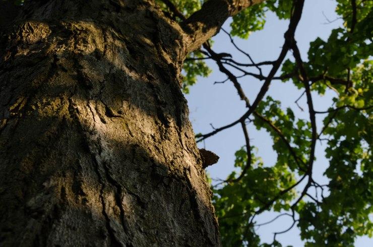 Oak tree bark marked by shadows