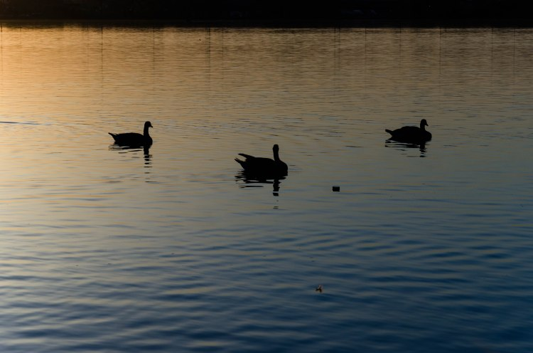 silhouetted geese swimming in a painted Delaware River