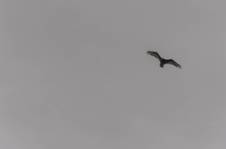 turkey vulture in the wind
