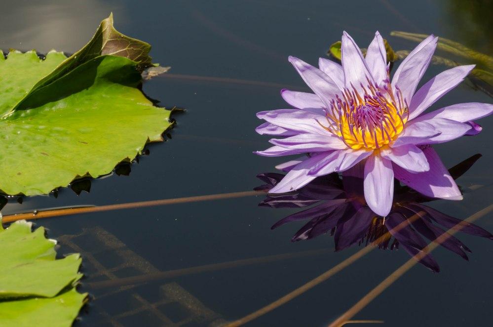 Water flower in Longwood Gardens