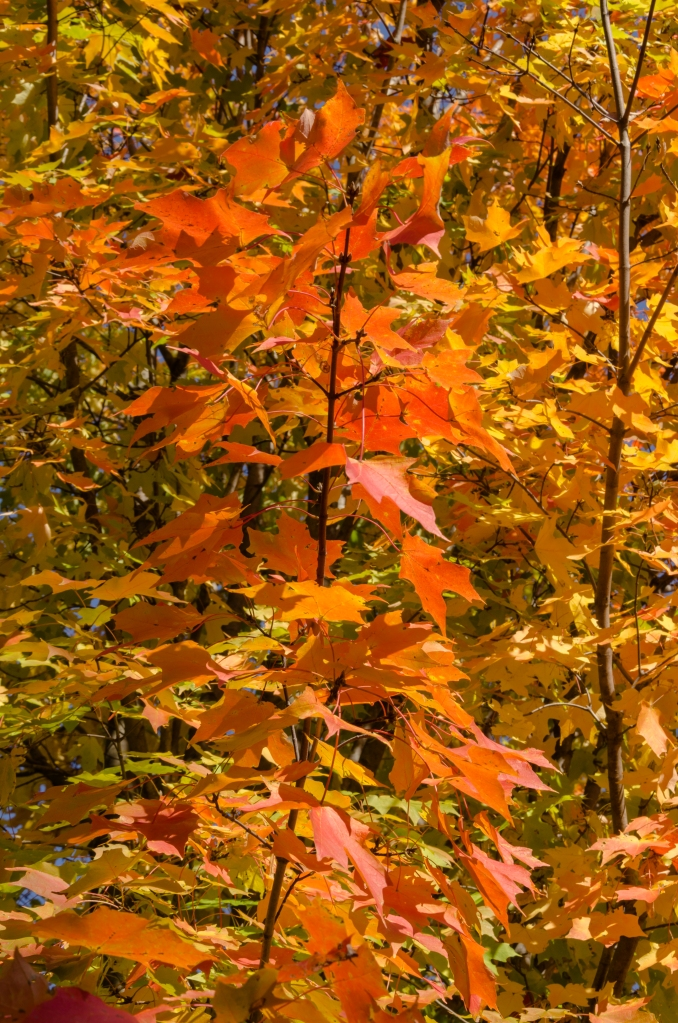 Fall leaves of orange and yellow and red