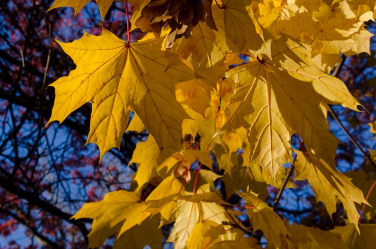 Yellow leaves of Late Autumn