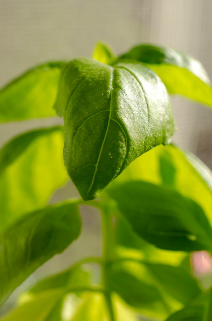 A close up of a basil leaf