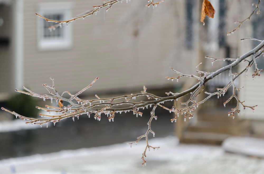 Ice Enveloped Tree Branch
