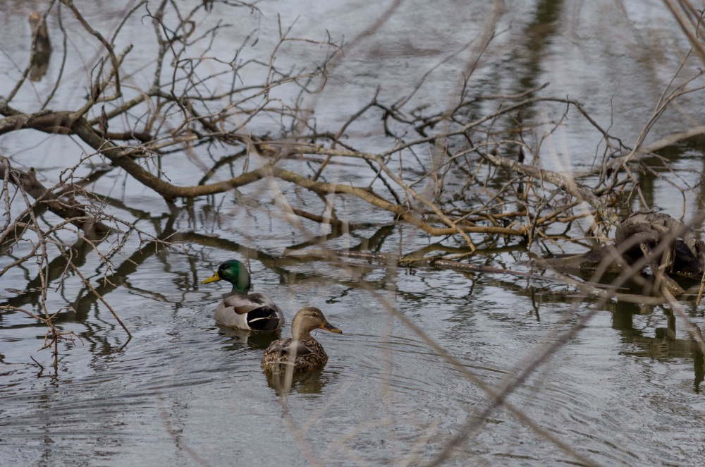 A mated pair of mallards, swimming near the river