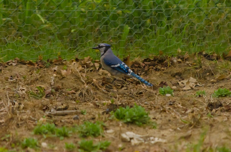 A Blue Jay on the ground