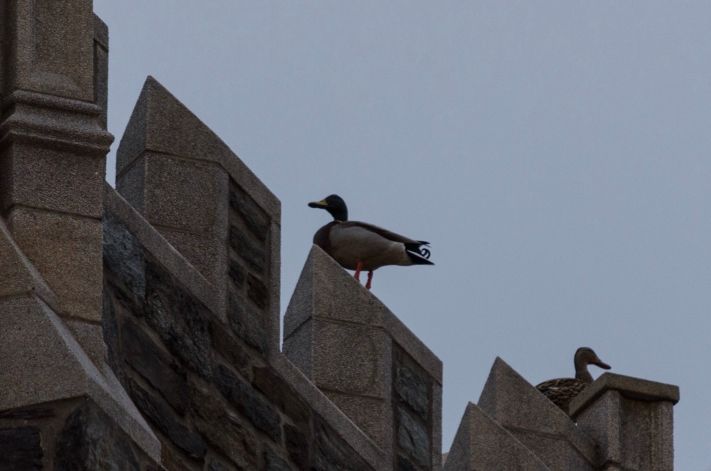 A mated pair of ducks, perched on Central's bell tower