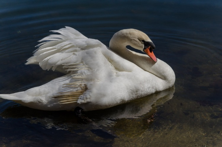A wounded Swan