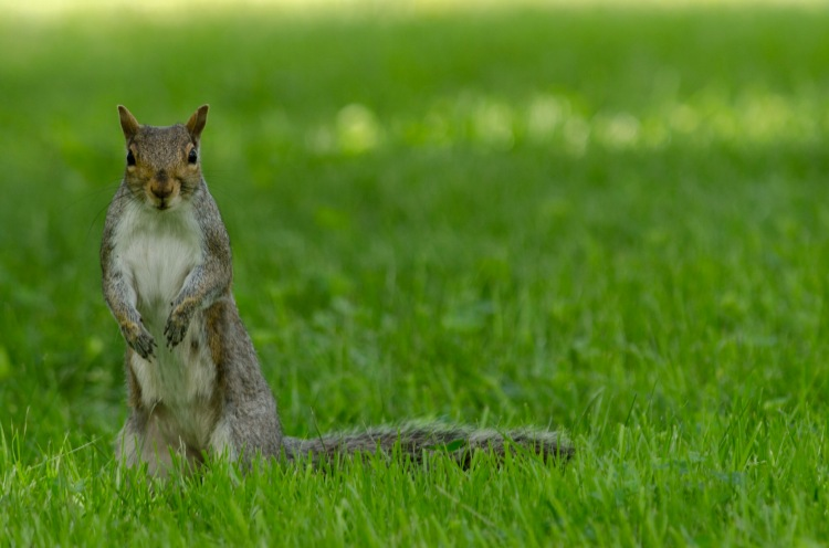 A squirrel stands up, checking out a noise