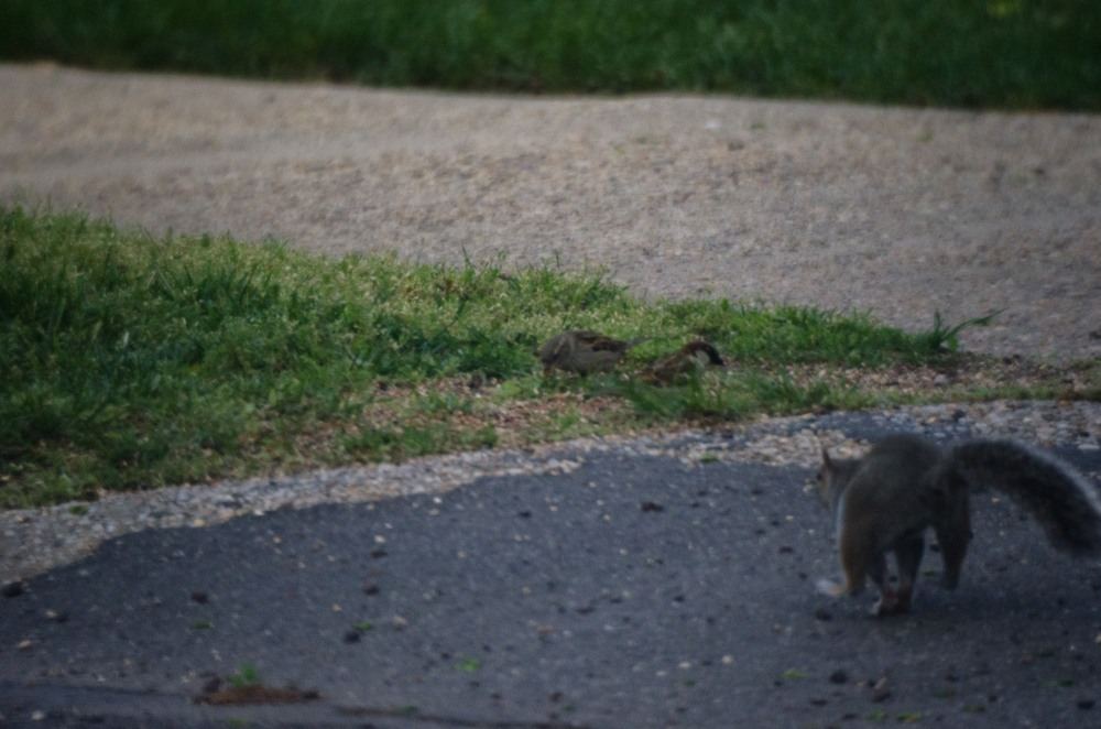 A squirrell chases away the competition