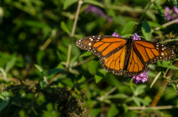 A butterfly drinks nectar