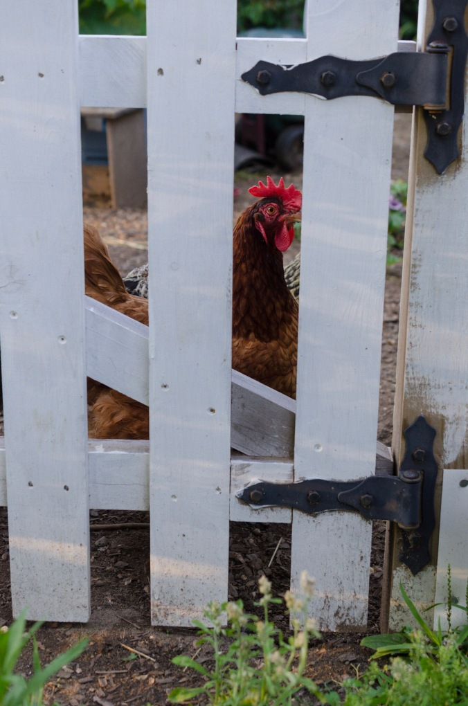 A chicken peers through a fence.