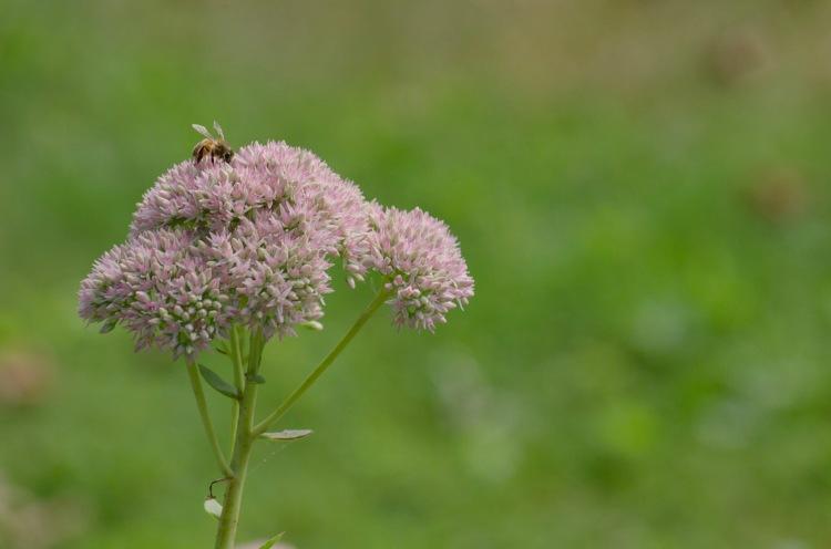A honeybee gathers pollen as Fall approaches