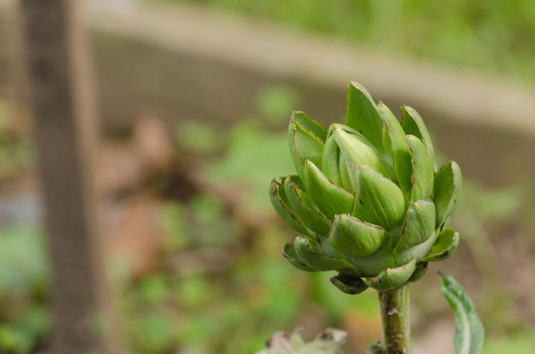 An artichoke opening as Fall approaches