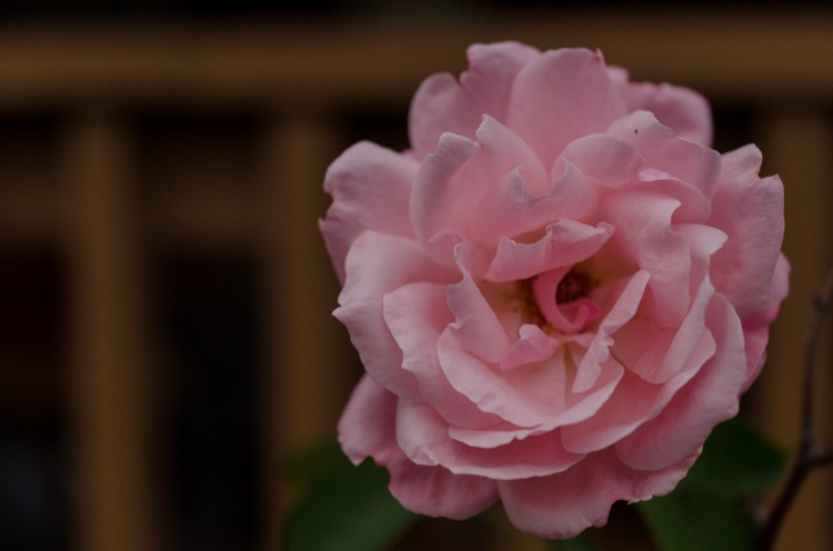 An autumn rose in bloom.