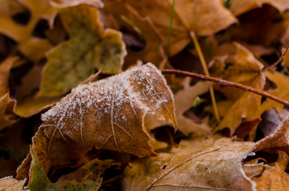 A frost-covered leaf