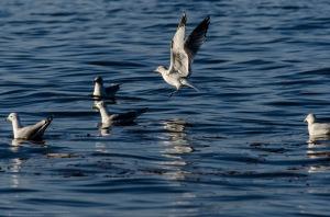 Α seagull lands in the river