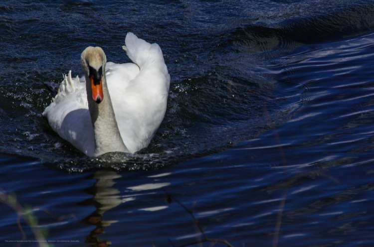 A swan paddles in the water