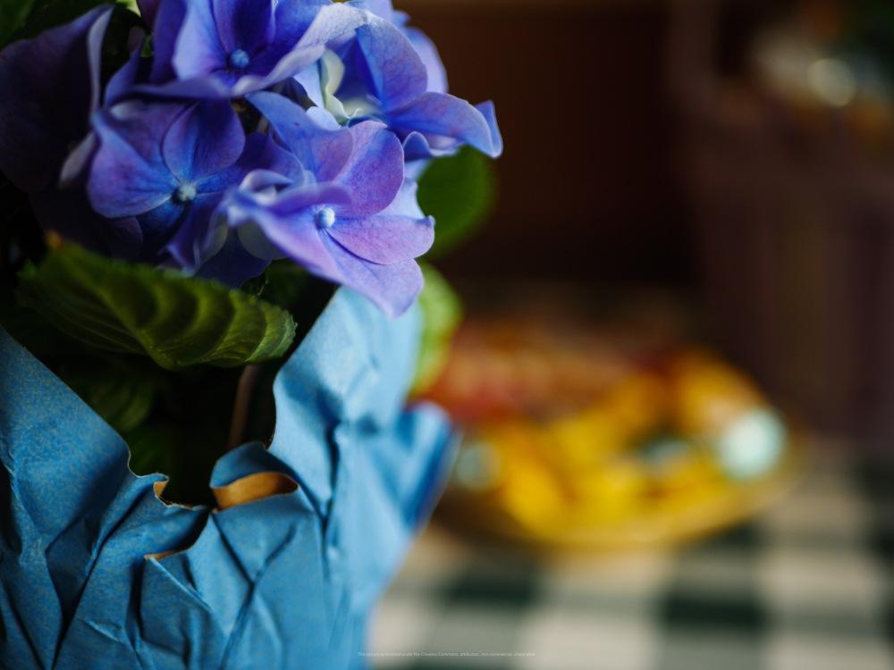 A blue hydrangea