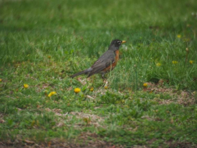 A robin searches for food.
