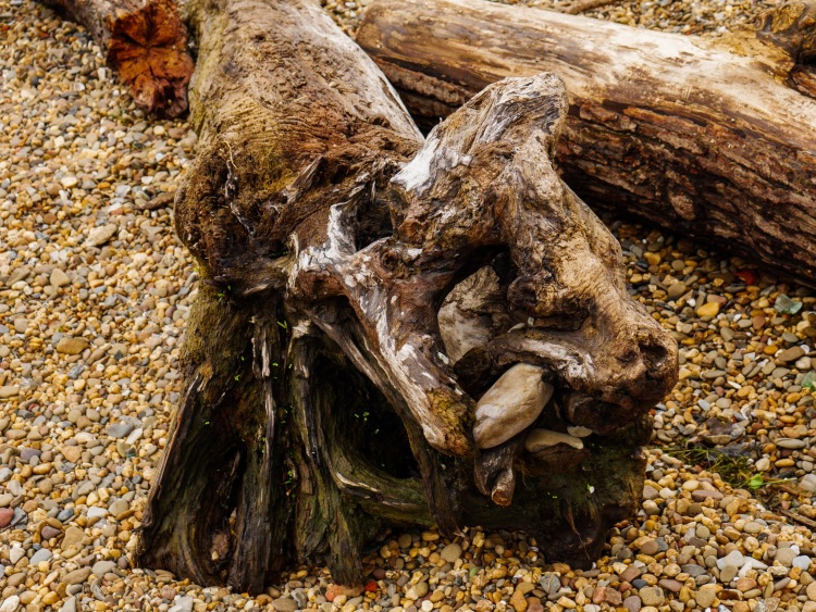 A driftwood tree takes on the shape of a wolf head