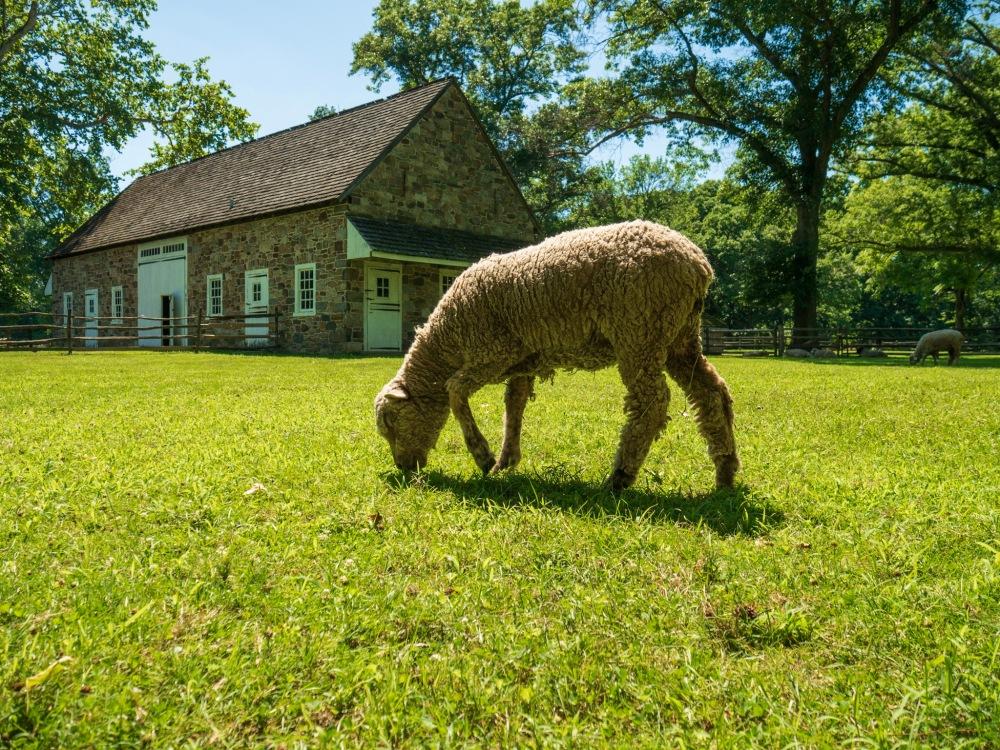 A sheep at Pennsbury Manor