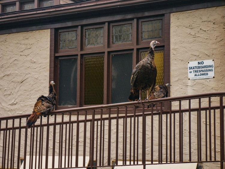 Turkeys perched on a railing