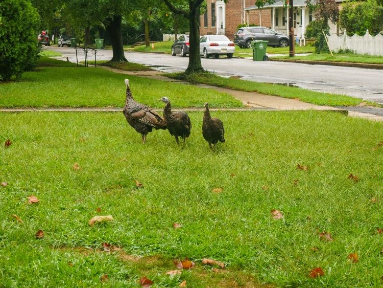 Wild turkeys on the lawn