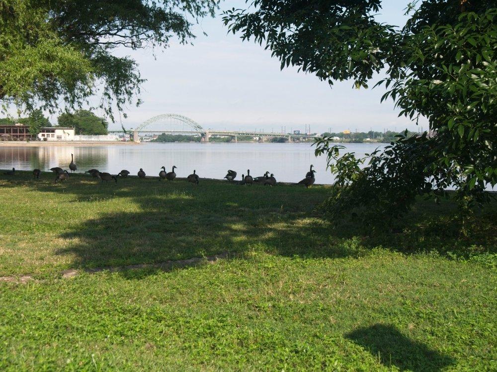 Geese seeking shade on a hazy day