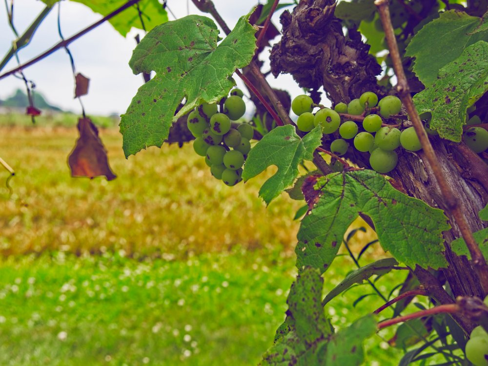 Grapes on a vine near a farmer's field.