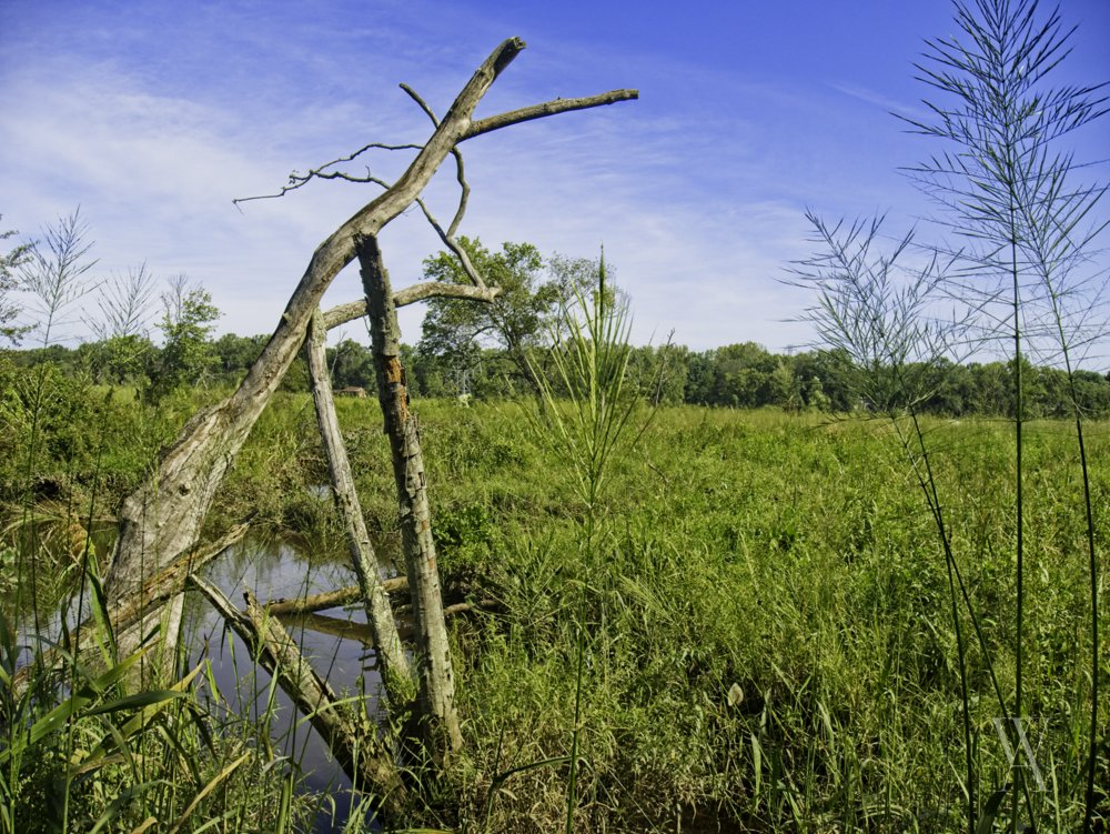 Two fallen, and decaying, trees in the wetlands
