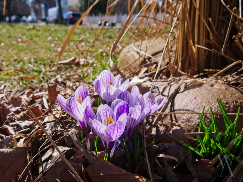 Purple and white crocuses blooming among some rocks in a flower bed.